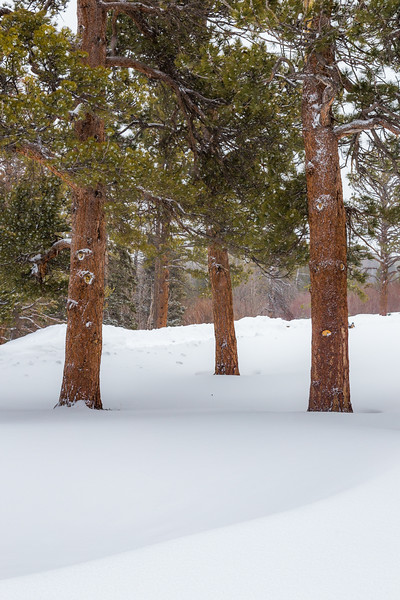 Three Pines in the Snow