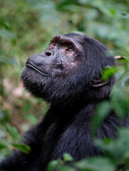 African_Apes_0218_PSokol-1134.jpg