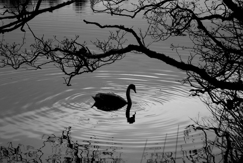 Black and white picture of a swan