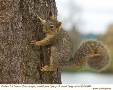 EasternFoxSquirrel83429.jpg