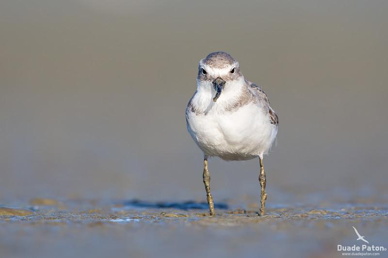 Wrybill - Ngutuparore