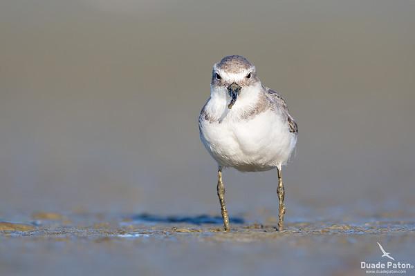 Wrybill (NZ)