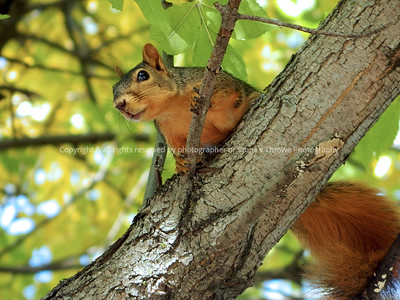 042-squirrel-ankeny-27sep12-12x09-002-0434