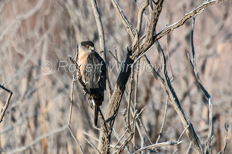 Cooper's Hawk, Accipiter cooperii, Bosque del Apache, National Wildlife Refuge, New Mexico, USA, North America