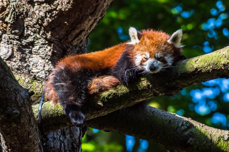 Edinburgh Zoo: Red Panda