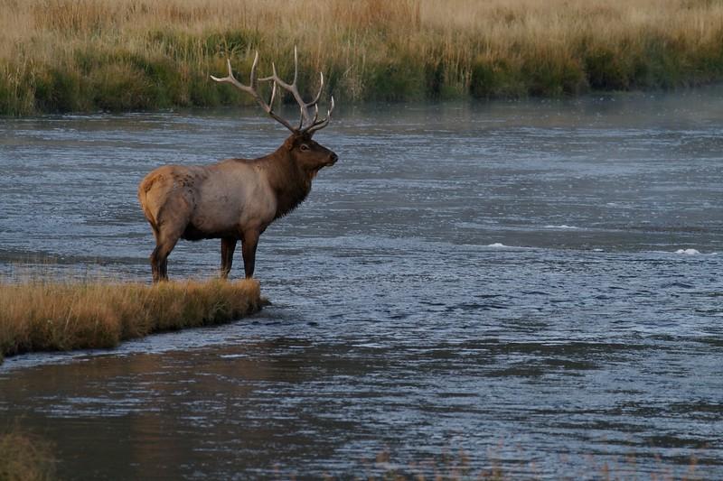 Elk bull crossing Madison River Yellowstone NP WY IMG_0001125.jpg