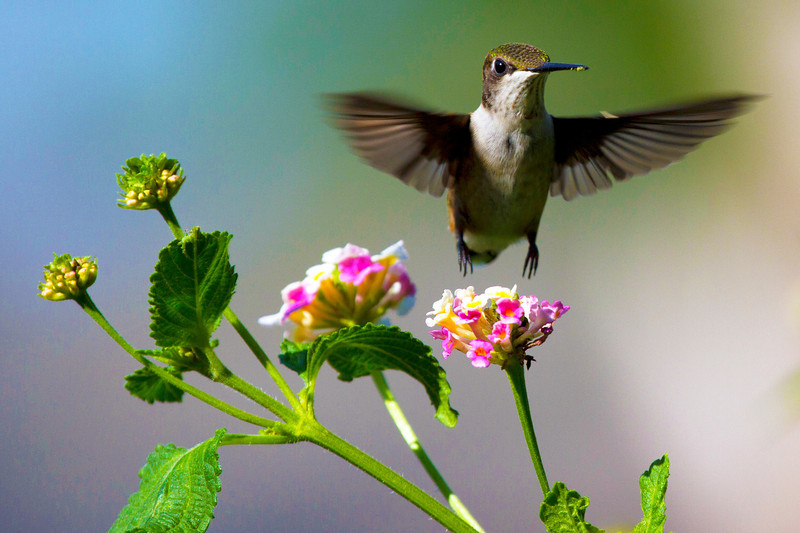 hummingbirdandlantana26.jpg