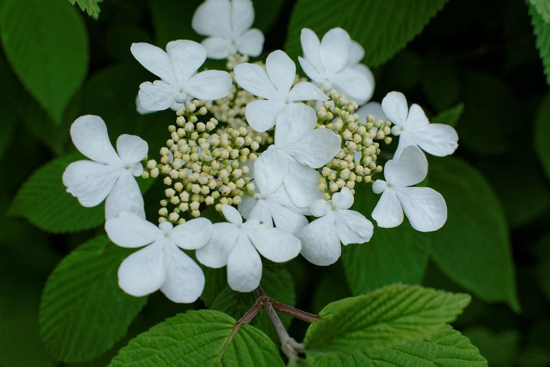 Viburnum - Lace Cap (1).jpg
