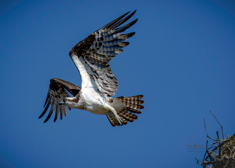 Osprey_Sabine River Flying off nest_664A9534.jpg
