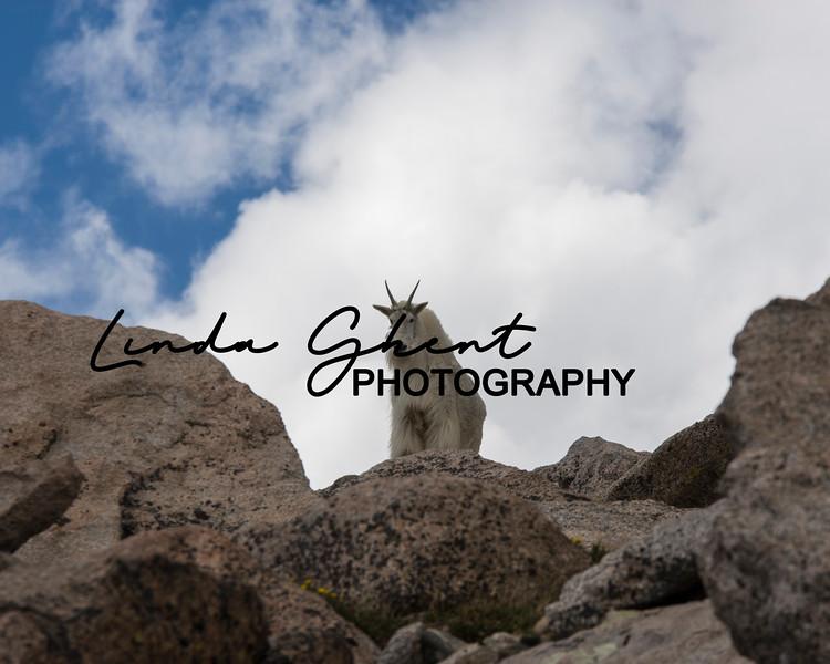 Mount Evans Mountain Goats #12