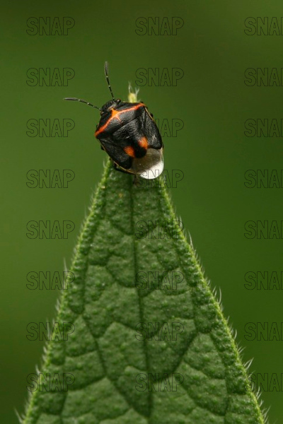 Two-Spotted Stink Bug (Perillus bioculatus).