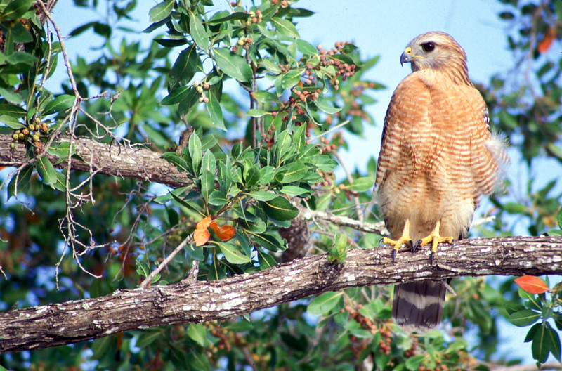 hawk on a tree branch