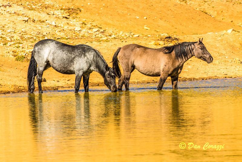 Watering Mustangs a.jpg