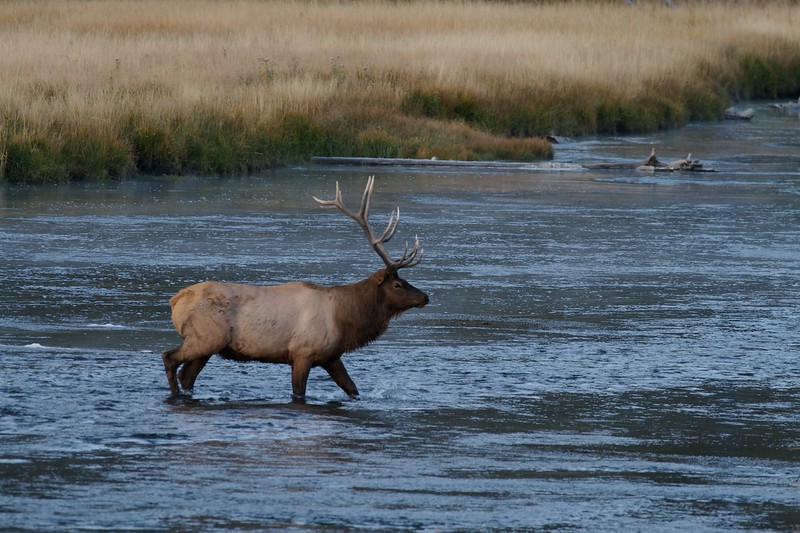 Elk bull crossing Madison River Yellowstone NP WY IMG_0001130.jpg