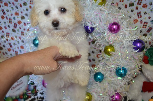 3165,Maltipoo,female,white