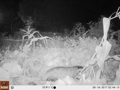 Badger-cam