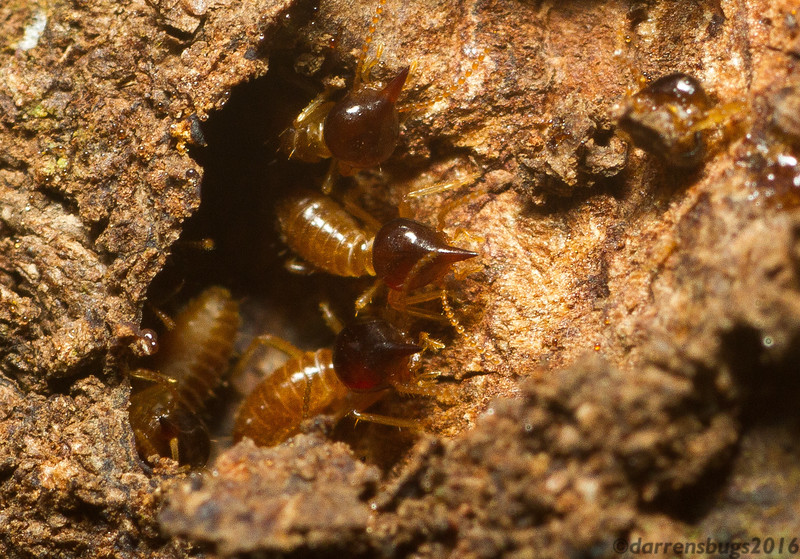 Arboreal termites, Nasutitermes sp., from Panama. These soldiers are defending an opening to the nest with sophisticated chemical weaponry - this caste can spray their attackers with a noxious, sticky liquid from their heads!
