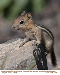 GoldenMantledGroundSquirrelJ58535.jpg