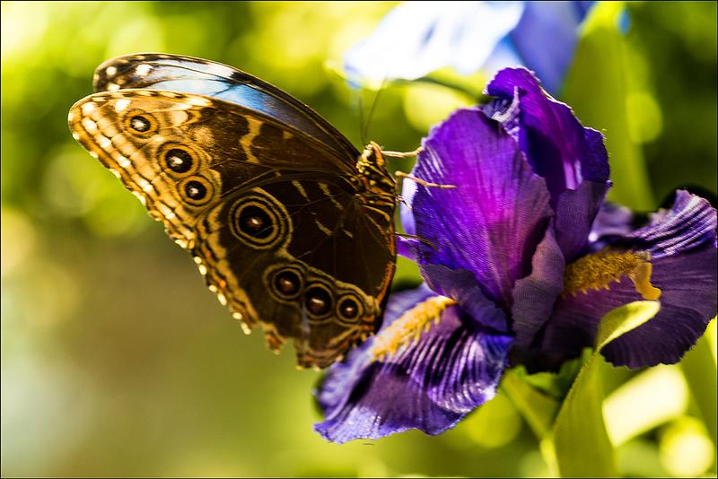 Blue Morpho Butterfly 2 NOLA.jpg