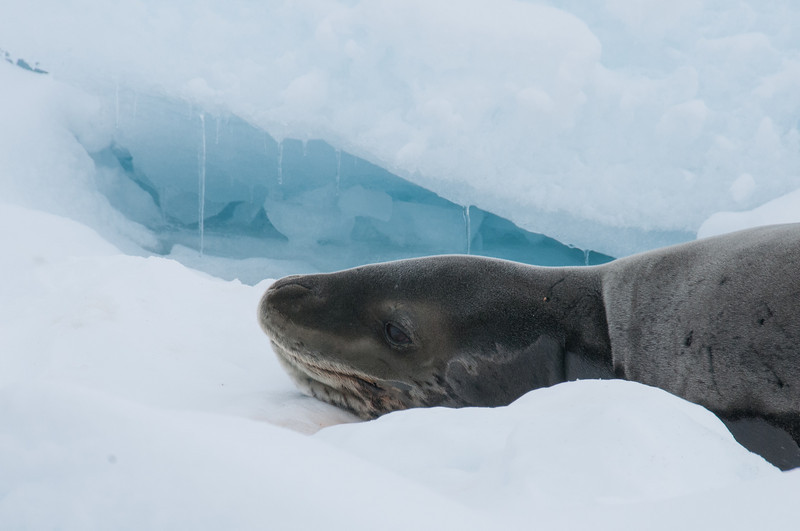 Seal in Pleneau Bay, Antarctica