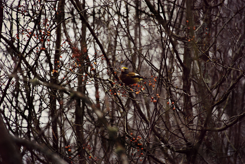 Evening Grosbeak B.C Canada
