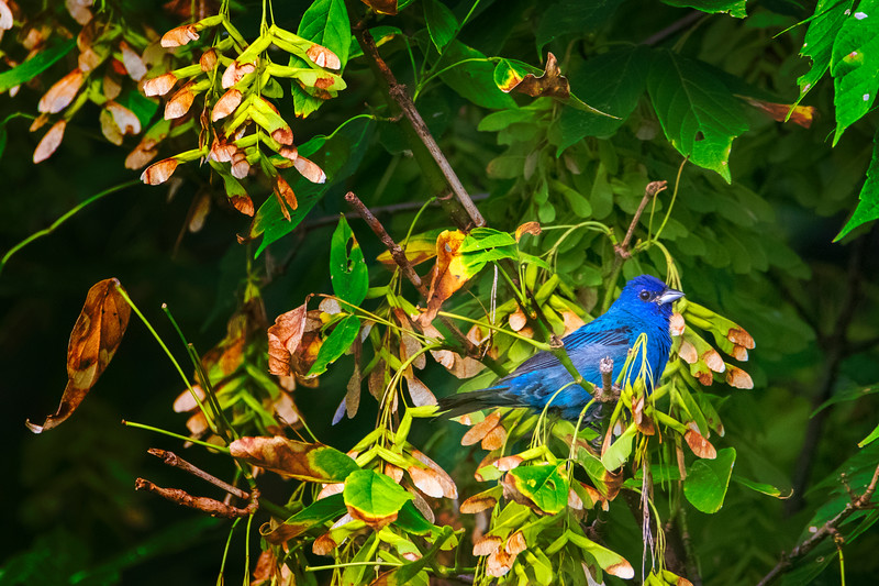 8.26.19- Esculapia Hollow: Male Indigo Bunting.  Still plenty of these around the lake.  Just listen for them  - whistling a bright, lively song of sharp, clear, high-pitched notes that lasts about 2 seconds.