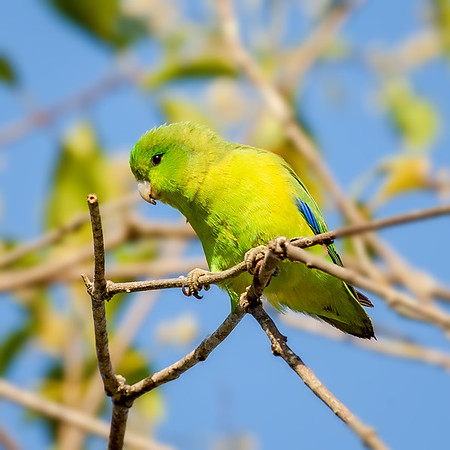 Bluewinged Parrotlet