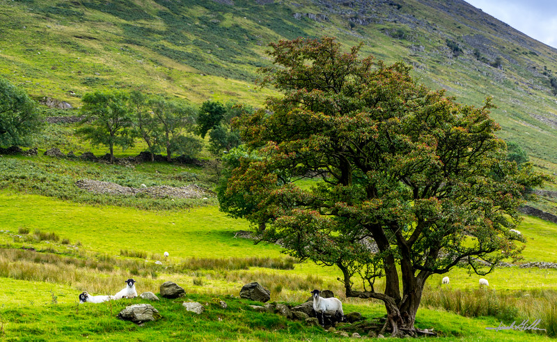 Grazing sheep in the Grisdale Tarn