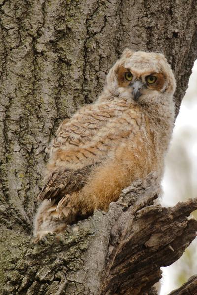 Owl - Great Horned - juvenile - Silverwood Park - New Brighton, MN - 05