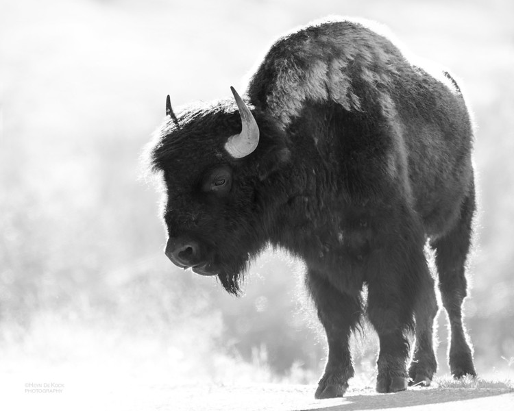 Bison, Yellowstone NP, b&w, WY, USA May 2018-3.jpg