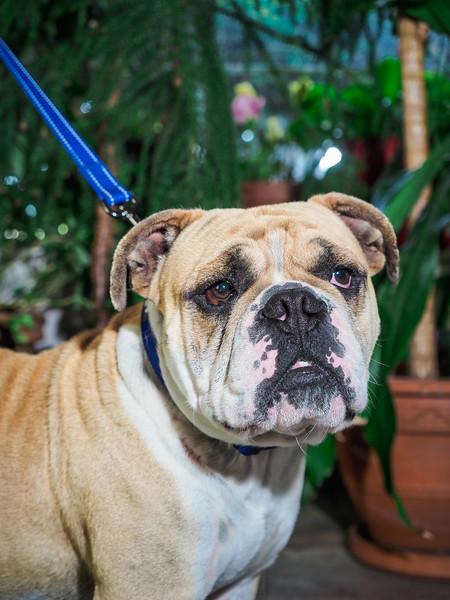 No Borders Bulldog Rescue - Unnamed Intakes May 5 2020-59.jpg