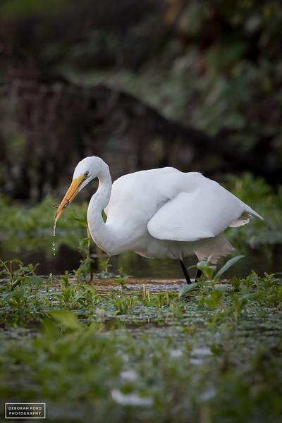 Great Egret fishing in Putah Creek