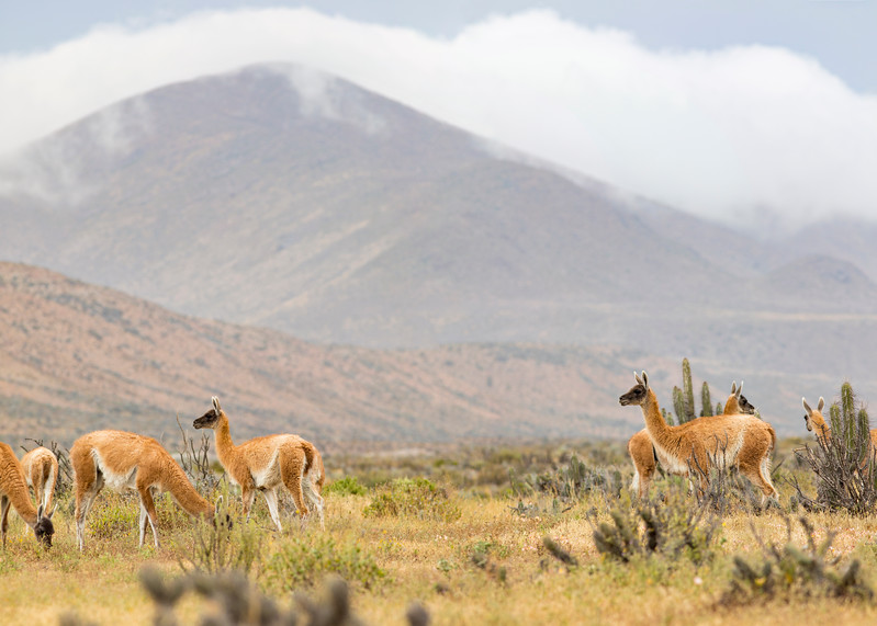 Guanacos along the Road to Punta de Choros