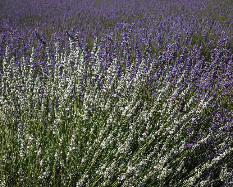 white lavender, East Marion NY