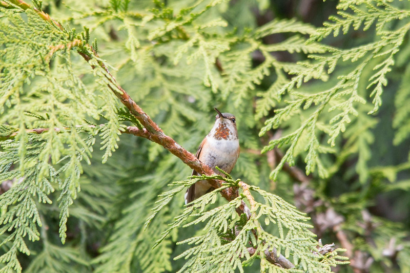 HUMMING BIRDS (1 of 104).jpg
