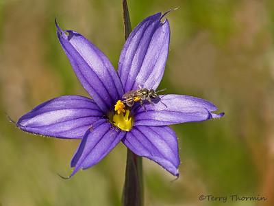 Iris family, Iridaceae