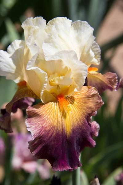 yellow iris.jpg