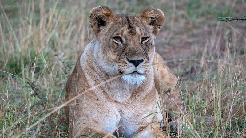 Tanzania-Serengeti-National-Park-Safari-Lion-11.jpg