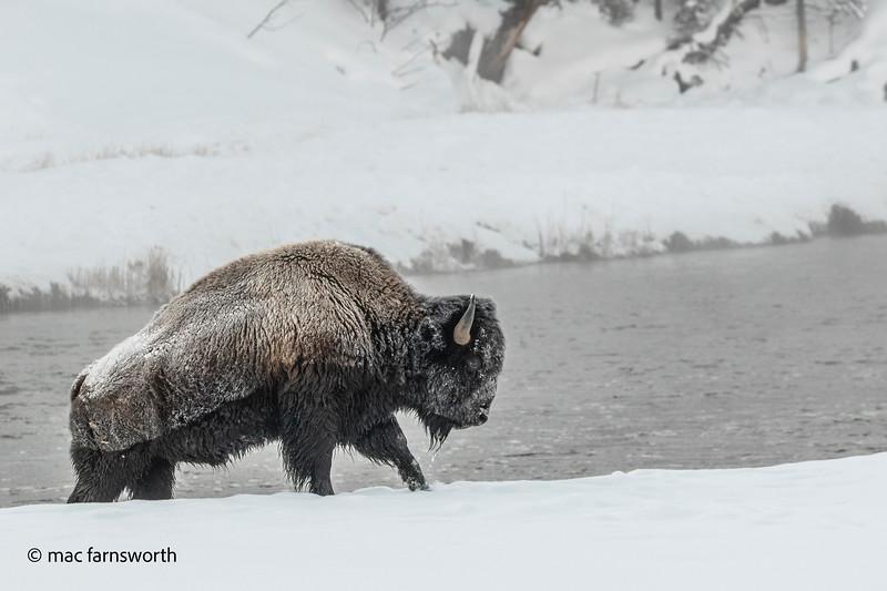 Yellowstone023January 29, 2020.jpg