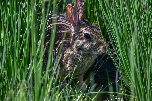 5-29-17 **Rabbit In The Weeds