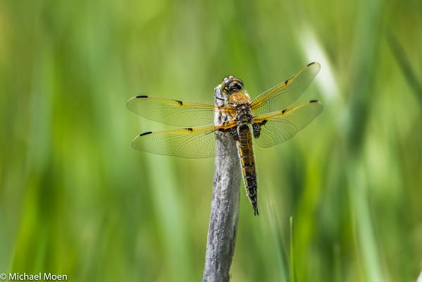2016 Dragonflies, Damselflies, & Butterflies