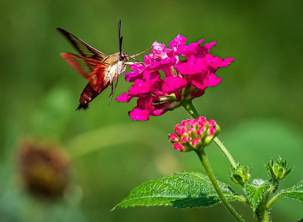 The Incredible Hummingbird & HummingBird Moth