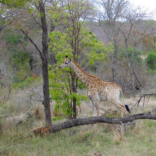 Giraffe, Belule Reserve, SA.jpg