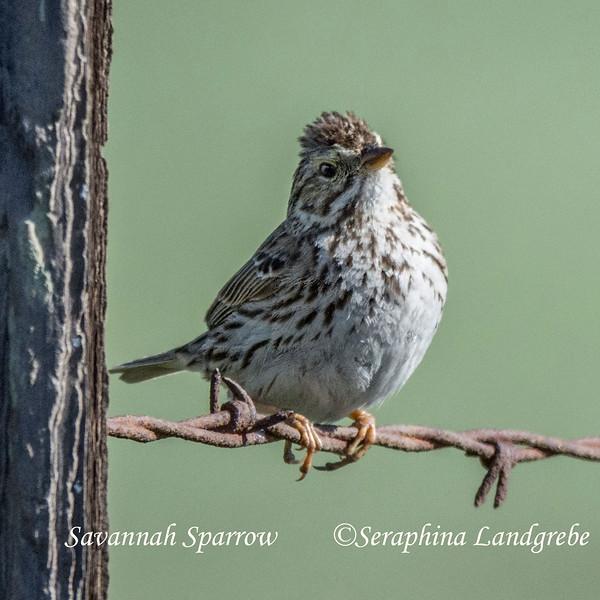 _DSC8158Savannah Sparrow.jpg
