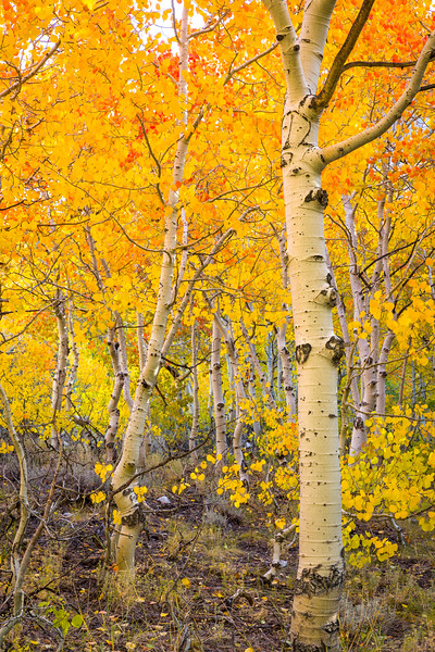 Morning sunlight begins to filter through aspens along the south fork of Bishop Creek