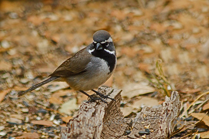 Black-throated Sparrow ~ Photographed in central Texas.