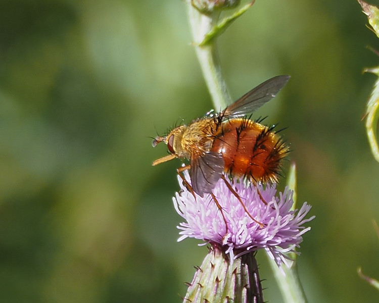 Tachinid Fly - Macromya crocata