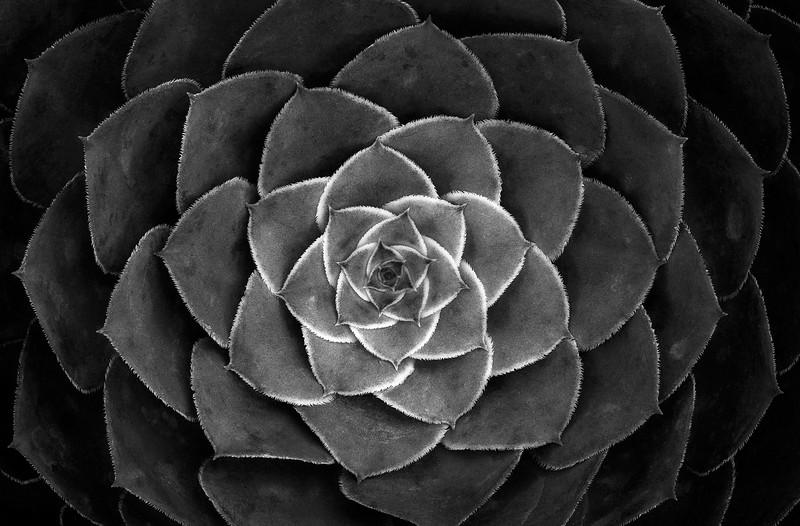 Sarah-Marino-SDBG-Plants-8-Succulent-Rosette-BW-1200px.jpg