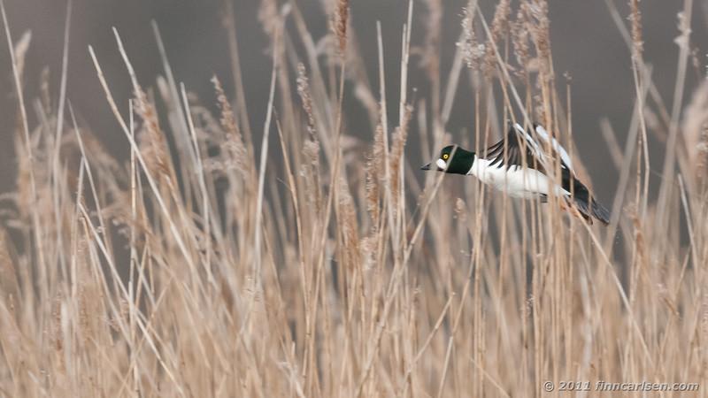 Hvinand - Bucephala clangula - Goldeneye