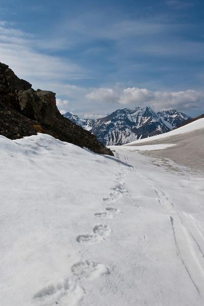 Bear tracks and ski tracks.